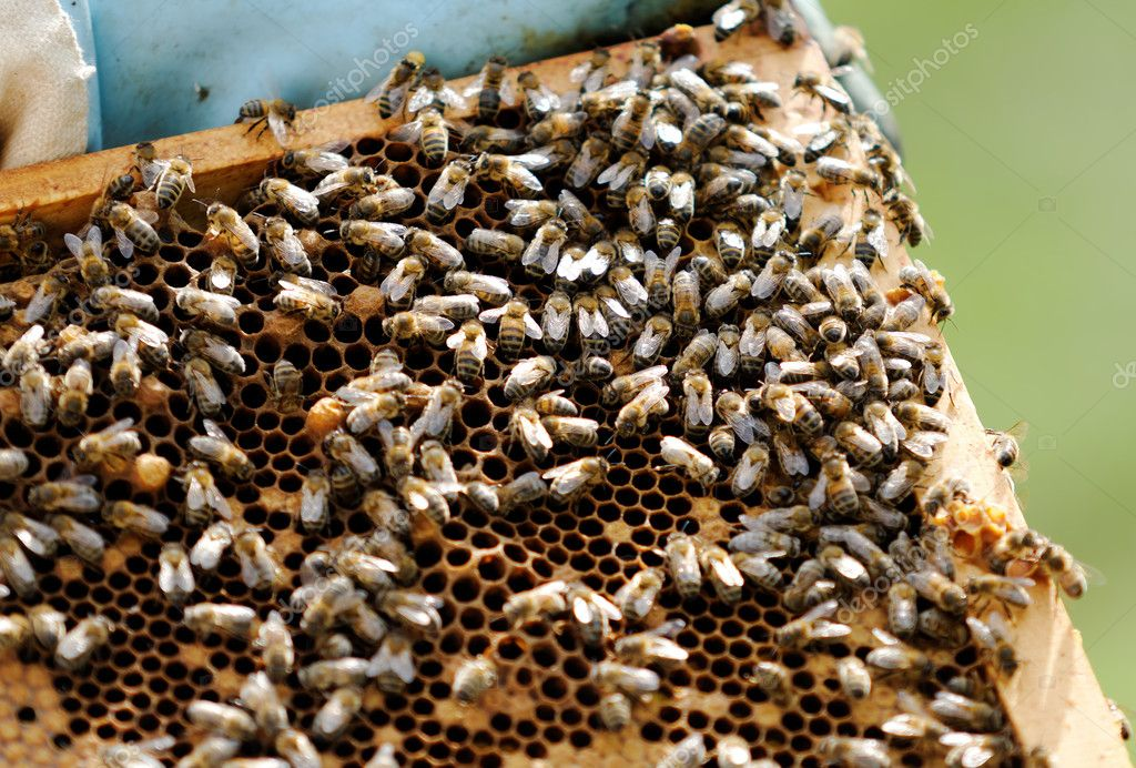 Foraging bees — Foto de Stock   #11240477