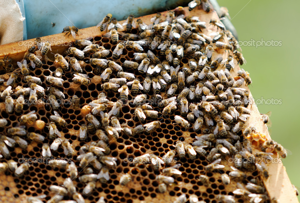 Foraging bees  Foto de Stock   #11240477