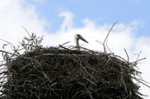 Stork in nest — Stock Photo