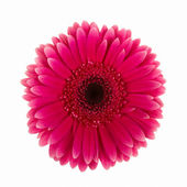 Violet daisy flower isolated — Stock Photo