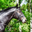 Royalty-Free Stock Photo: Horse of  black color