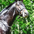 Horse of  black color - Stock Photo