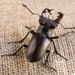 """Stag beetle"" Lucanus cervus — Stock Photo"
