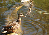 Duck with ducklings — Stock Photo
