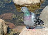 Rock pigeon — Stock Photo