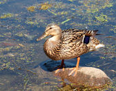Female duck — Stock Photo