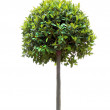 Bay tree — Stock Photo