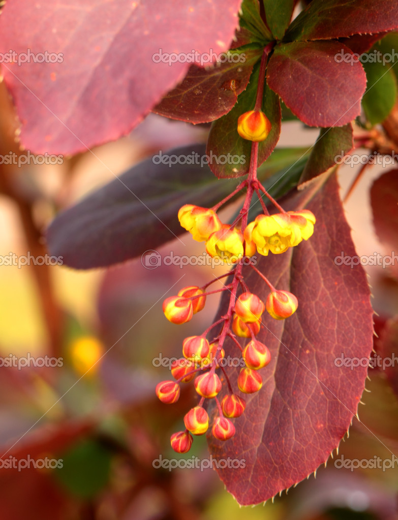 Yellow flowers of spring blossoming barberry — Stock Photo #11843367
