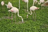 Flock of white-pink flamingos — Stock Photo