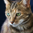 Beautiful Cat, close up — Stock Photo