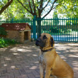 Boerboel dog — Stock Photo #11549136