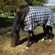 Horse, blanket - Stock Photo