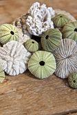 Sea urchins — Stock Photo