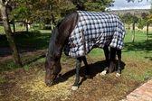 Horse, blanket — Stock Photo