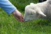 Cute Lamb — Stock Photo