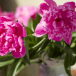 Stock Photo: Bouquet of pink peonies