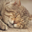 Stock Photo: Gray tabby cat sleeping