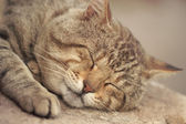 Gray tabby cat sleeping — Stock Photo