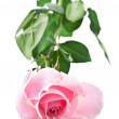 Pink fresh rose — Stock Photo