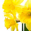 Yellow narcissus flowers - Stock Photo