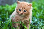 Beautiful ginger kitten — Stock Photo