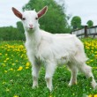 Little white goat — Stock Photo