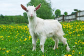 Little white goat — Stock Photo