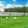 Stock Photo: White goats on the field