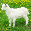 Little white goat - Stock Photo