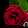 Red rose on black — Stockfoto