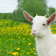 Goat on the field - Stock Photo