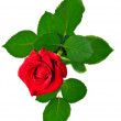 Beautiful red rose — Zdjęcie stockowe #12103497
