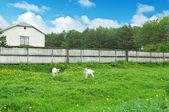 フィールド上の白いヤギ — ストック写真