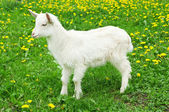 Little white goat — Foto de Stock