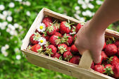 Woman holding basket with strawberry — Stock Photo