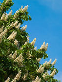 Flowering chestnut — Stock Photo