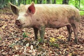 Funny pig in the wild forest — Stock Photo
