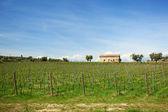 Vigneto con nuovi vitigni ed edificio rustico — Foto Stock