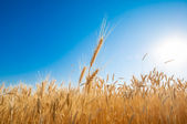 Golden wheat field on blue sky. — Stock Photo