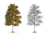 Betulla bianca europea. — Foto Stock