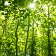 Royalty-Free Stock Photo: Green forest trees background