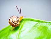 Little snail on green leaf — Stock Photo