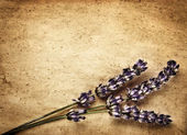 Lavender flowers isolated on brown abstract backdrop — Stock Photo