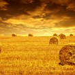 Stock Photo: Wheat harvest time