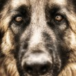 Closeup portrait of german shepherd - Stock Photo
