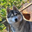 Portrait of a Siberian Husky dog — Stock Photo