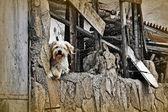 Engraçado cão branco, apoiando-se na velha casa — Foto Stock