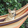 Nice dog standing on a hammock — Foto Stock