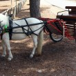 Small carriage pulled by white pony — Stock Photo #11751224