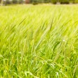 Balearic green wheat field in Formentera island - Stock Photo